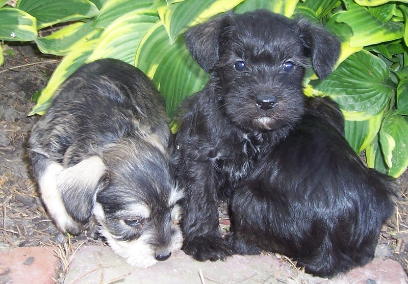 ... cute Schnoodle puppy for sale for $475. Teacup Schnoodle - m5x.eu